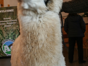 Tony the alpaca from Mager Mountains