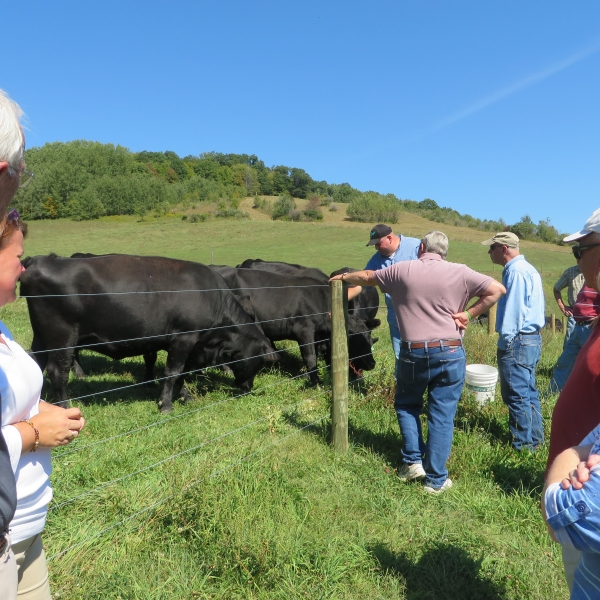 Black angus cows coming over to greet Mr. Finch and visitors at Eco Valley Farm